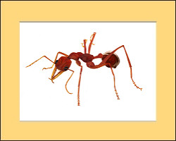 """Red Bull Head Ant"""